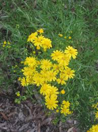 native plants adelaide the native plants of adelaide twenty one words