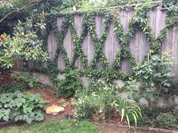 native australian ground cover plants a great way of covering an ugly fence using jasmine u0026 australian