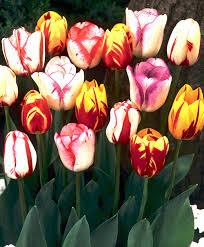 tulip mixtures tulips flower bulb index