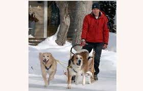 australian shepherd uses photos regina man uses dogs to pull dog sled around the city