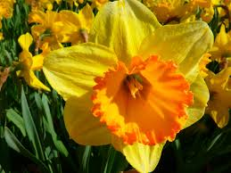 narcissus daffodil flower download webextensionline