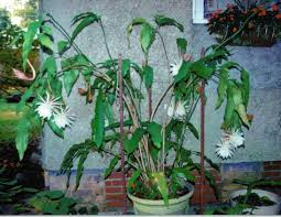 blooming cereus blooming cereus care arizona of the care and bloom