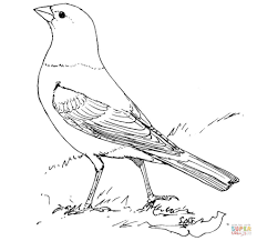 brown headed cowbird coloring page free printable coloring pages