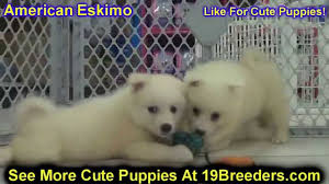 american eskimo dog virginia american eskimo puppies dogs for sale in charleston west