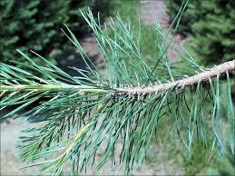 isu forestry extension tree identification scotch pine pinus