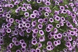 balkon blumen balkonblumen pflanzen pflege und tipps mein schöner garten