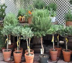 Herb Topiaries In The Garden Sperling Nursery Velvet U0026 Linen