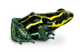 ranitomeya ventrimaculata u0027french guiana yellow u0027 amazonian