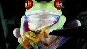 how to build a habitat for a eyed tree frog animals me