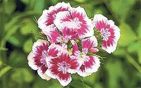 sweet william flowers the 10 minutes gardener sow sweet william telegraph