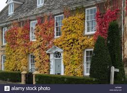 virginia creeper american ivy and climbing hydrangea on a house