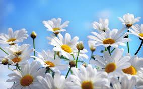 free daisy backgrounds wallpaper wiki