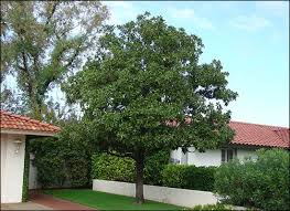 best 25 magnolia trees for sale ideas on