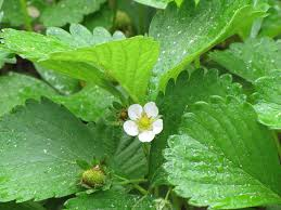Strawberry Plant Diseases - strawberry diseases and pests gardening pinterest