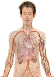 Human Anatomy Liver And Kidneys How Amphetamine Addiction Affects Your Liver And Kidneys