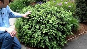 evergreen shrubs for small gardens cori u0026matt garden