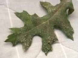 encino rojo manchas blancas medio pegajosas en hojas