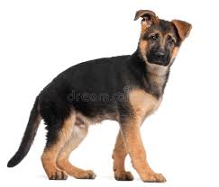 german shepherd puppy 3 months old standing royalty free stock