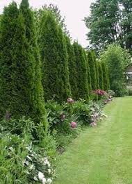 Backyard Landscaping Ideas For Privacy We Want To Make An Arborvitae Fence For Noise Reduction And
