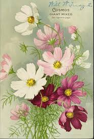 Birth Flowers By Month - best 25 cosmos flowers ideas on pinterest cosmos flower