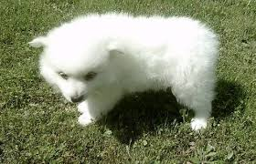 american eskimo dog for sale in colorado dog for sale american eskimo puppies for sale american eskimo