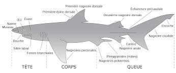 Male External Anatomy Dogfish Shark External Anatomy Images Learn Human Anatomy Image