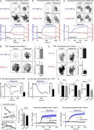 Inverted Living Dynamic Formation Of Er U2013pm Junctions Presents A Lipid Phosphatase