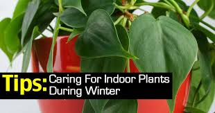 tips on caring for indoor plants during winter