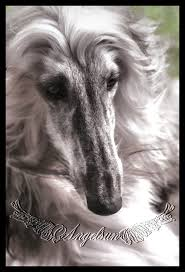 afghan hound puppies ohio angelsun afghan hounds