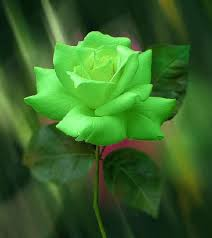 green roses green roses meaning wish health bstreet photo