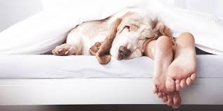 Man Sleeping In Bed Letting Your Dog Sleep In Your Bed Meradog