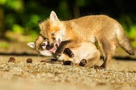 New Jersey wildlife images Zenfolio greg gard red fox kits great swamp nwr nj jpg