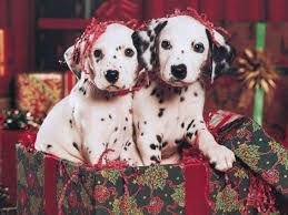 dalmatian puppies u2013 cute