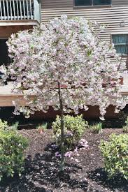ornamental trees crabapple weeping pink specimen trees