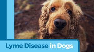 lyme disease symptoms dog lyme disease symptoms lyme disease