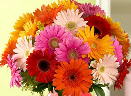 gerbera daisies history and meaning of gerbera daisies proflowers