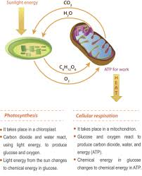Photosynthesis And Cellular Respiration Worksheet Connecting Cellular Respiration And Photosynthesis Ck 12 Foundation