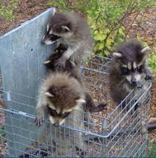 Raccoons In Backyard Nuisance Wildlife In Arkansas Resources For Dealing With