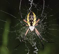 the itsy bitsy garden spider missouri department of conservation