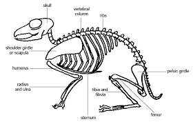 Simple Anatomy And Physiology Anatomy And Physiology Of Animals The Skeleton Wikibooks Open