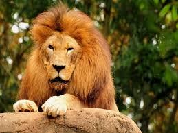 imagenes de leones salvajes gratis descargar la imagen en teléfono animales leones gratis 36583