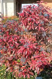 native plant sale muskoka conservancy 101 best shrubs images on pinterest garden shrubs gardens and