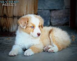 australian shepherd price australian shepherd puppies available for sale