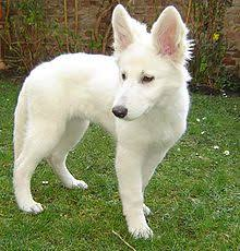 lifespan of australian shepherd white shepherd wikipedia