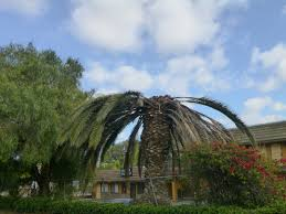 san diego county native plants invasive insect threatens san diego county u0027s palm trees kpbs
