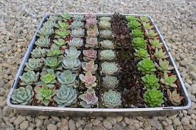 succulent wedding favors wedding succulents succulents for sale bulk succulent wedding