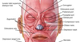 Orbicularis Oris Muscles Anatomy Pinterest Muscle And