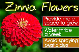 zinnia flower the ultimate zinnia flower o pedia is right here at your disposal
