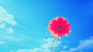 pink summer desktop wallpaper simple decoration flower motive