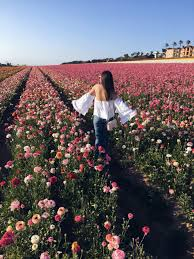san diego flowers a must see in san diego carlsbad flower fields style with nihan